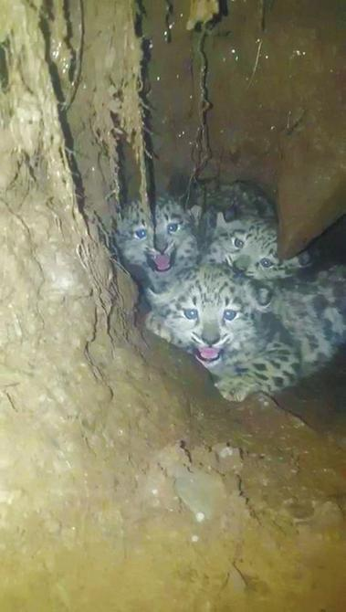 Three snow leopard cubs found in Shiqu - Chinadaily com cn