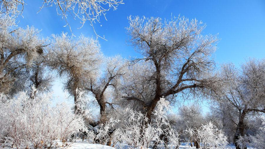 poplar trees images
