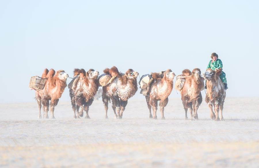 Mongols compete in camel culture festival on snow covered grasslands