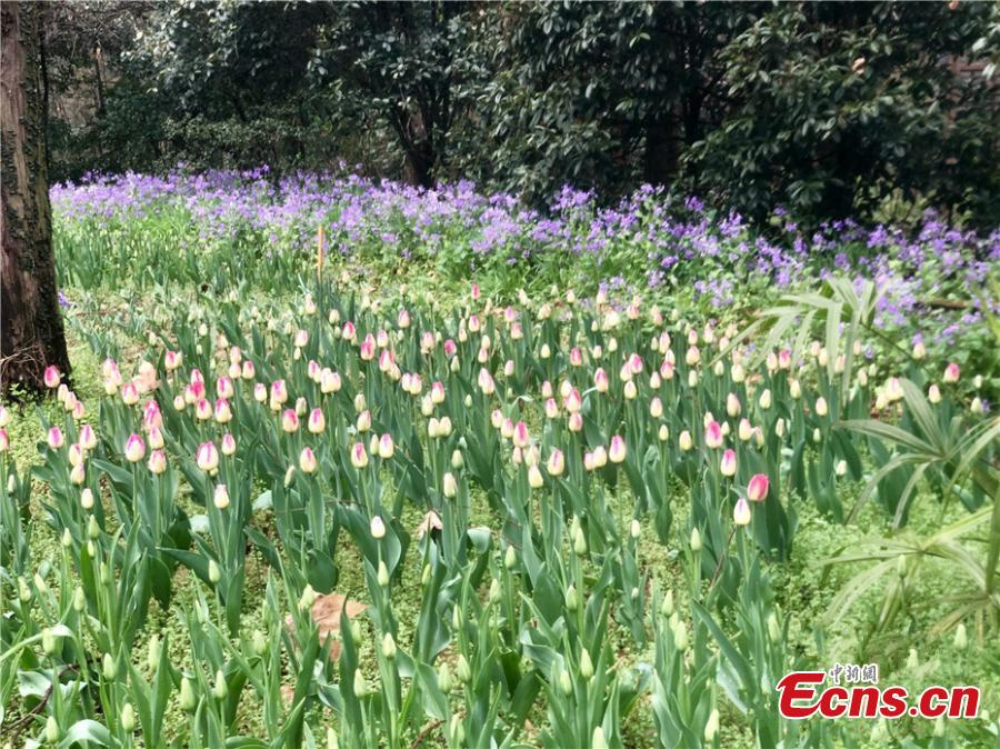 Spring flowers welcome visitors to nanjing botanical garden the garden is home to nearly 400000 flowers mainly tulips hyacinths and other bulb varieties mightylinksfo