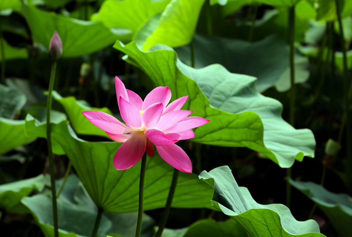 Lotus flowers set a lovely summer scene around china chinadaily a beautiful pink lotus flower blossoms in beijings summer palace an imperial garden in the qing dynasty 1644 1911 the flowers are lush and softly izmirmasajfo