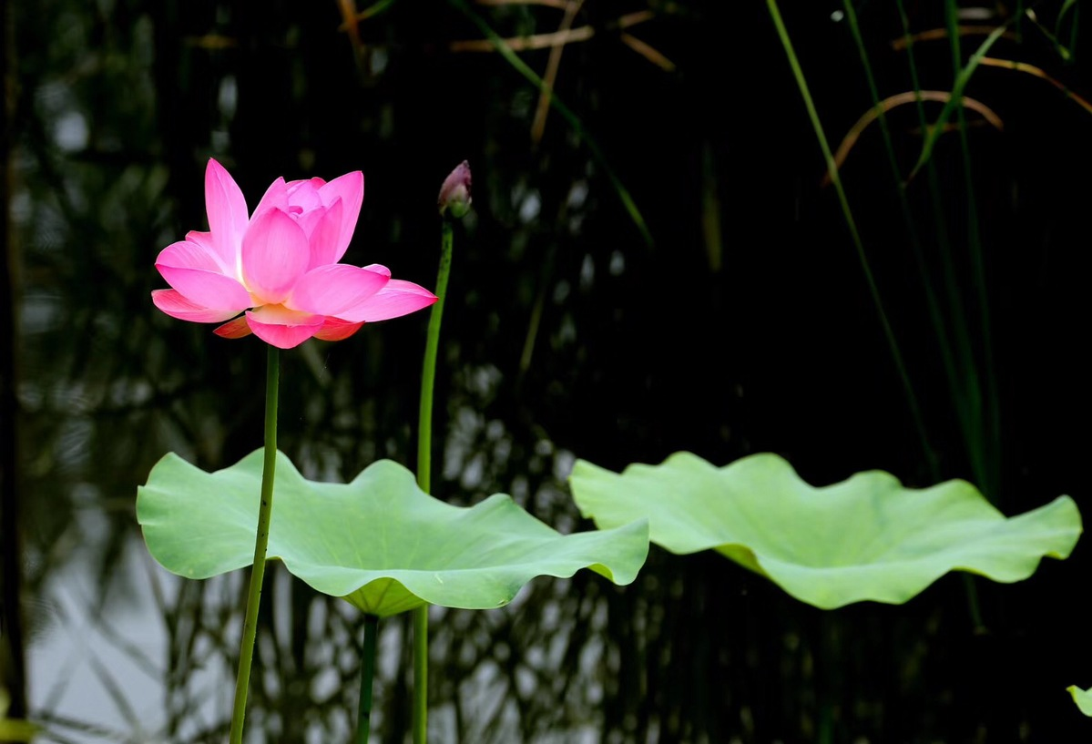 Lotus Flowers Set A Lovely Summer Scene Around China Chinadaily
