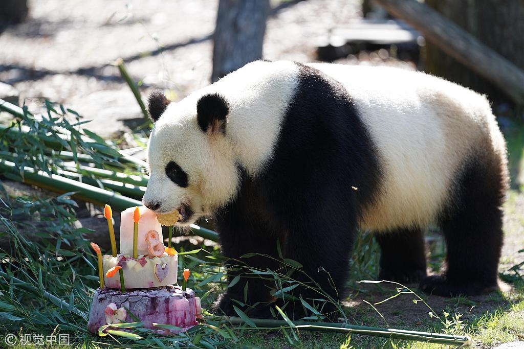 Male Panda Jiao Qing Celebrates 8th Birthday At Berlin Zoo