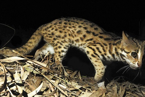 Leopard cat spotted on E China coast - Chinadaily com cn