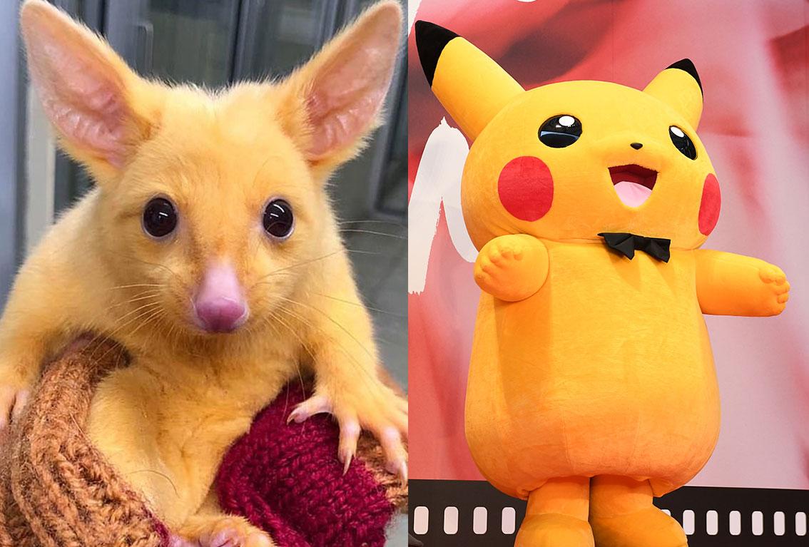 自发布以来,这只可爱的有袋类动物的照片在脸书上已被转发逾1300次