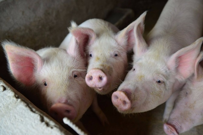 China confirms new African swine fever case