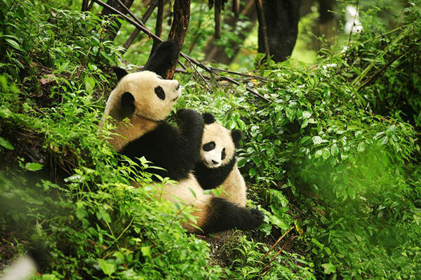 'Dating' pandas captured by infrared camera in China