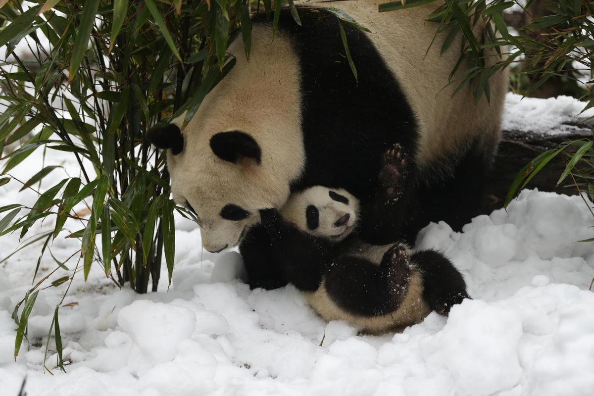 Girl rescued after falling into panda enclosure in southwest China