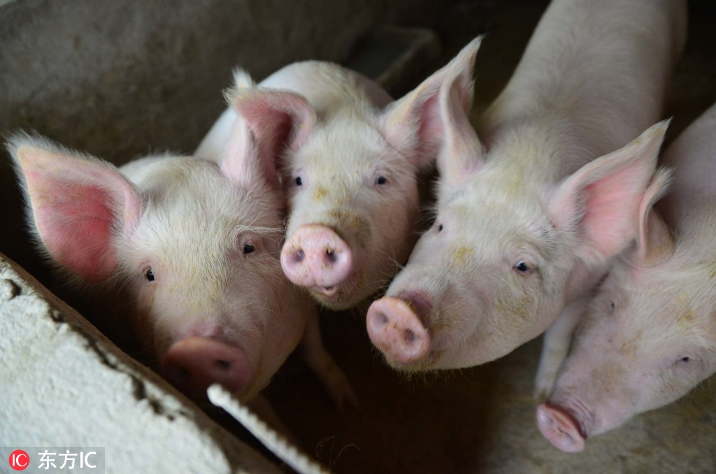 Chinese researchers isolate African swine fever virus