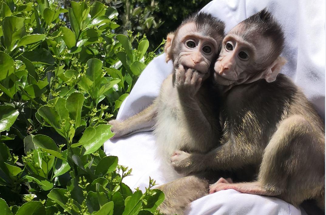 Transgenic monkeys carrying human gene show human-like brain development