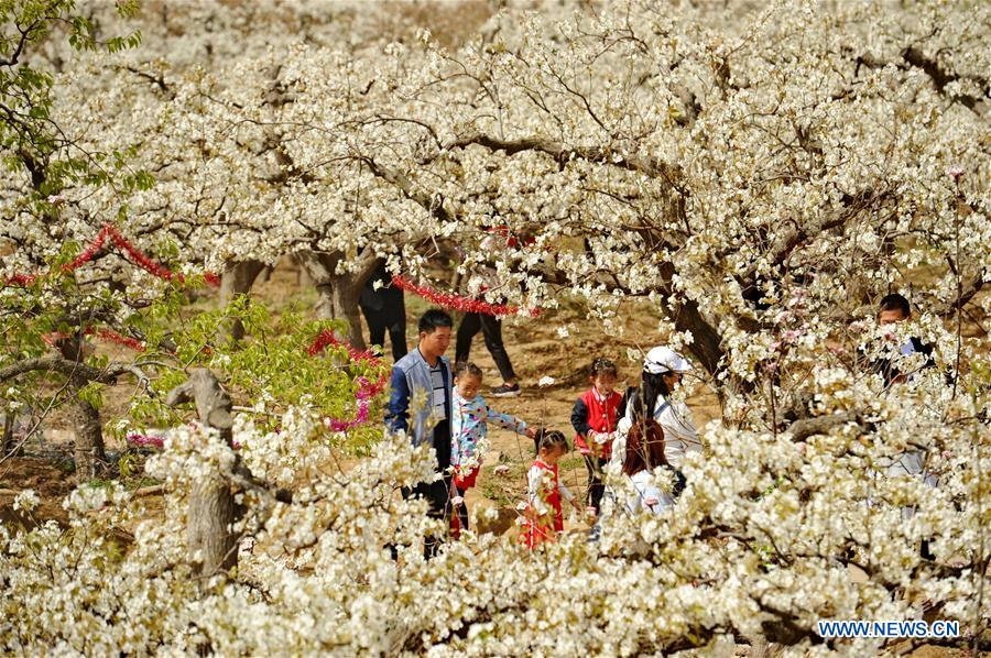 People view pear blossoms in N China's Hebei
