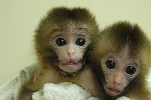 Monkey human gene experiment approved by ethics board