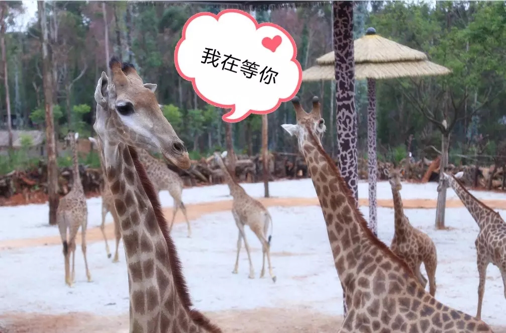 Hunt is on for visitor who threw cash at giraffes in Yunnan Safari Park