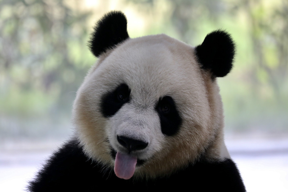 Visit ten cute pandas in East China - Chinadaily.com.cn