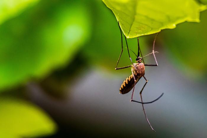 研究首次证实!蚊子不能传播新的冠状病毒