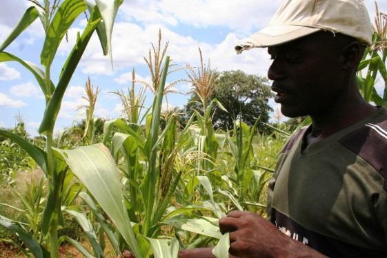 Bumper harvest brightens Zimbabwe's economic prospects