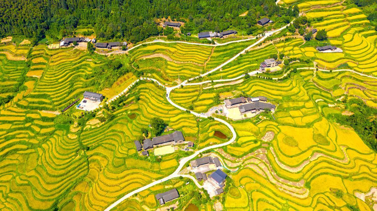 湖南稻谷成熟,稻田变成黄金