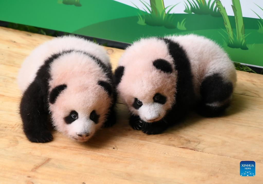 动物园大熊猫幼仔接待公众参观