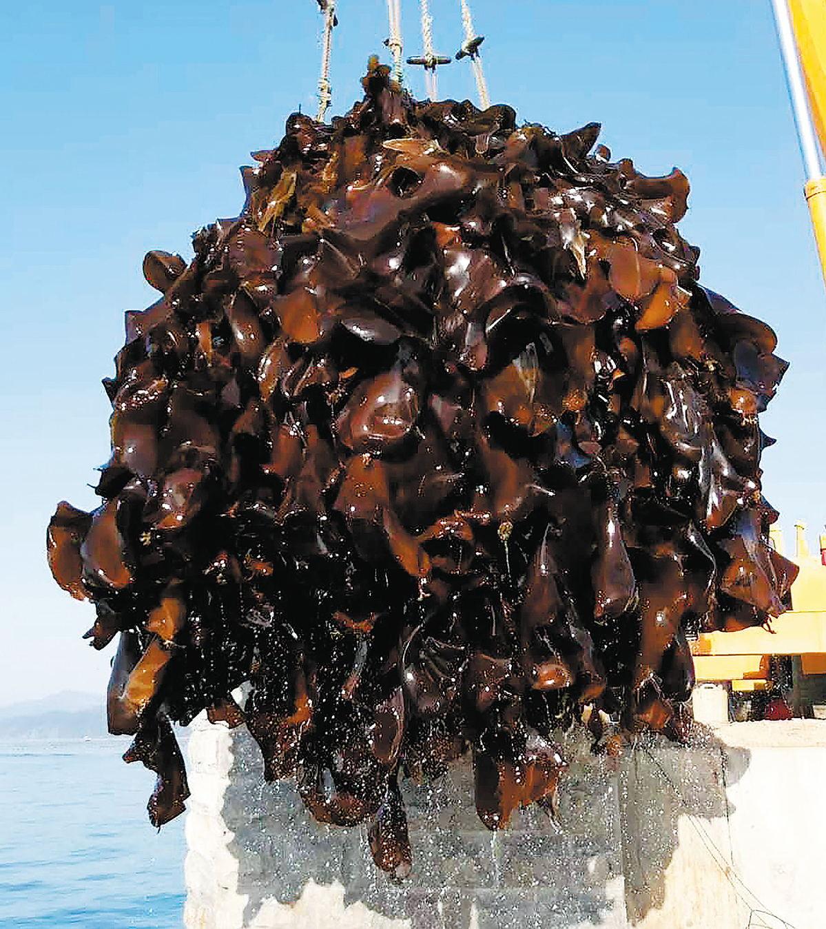 海带新品种给农民带来利润