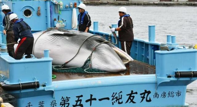 日本退出国际捕鲸委员会 遭多方反对