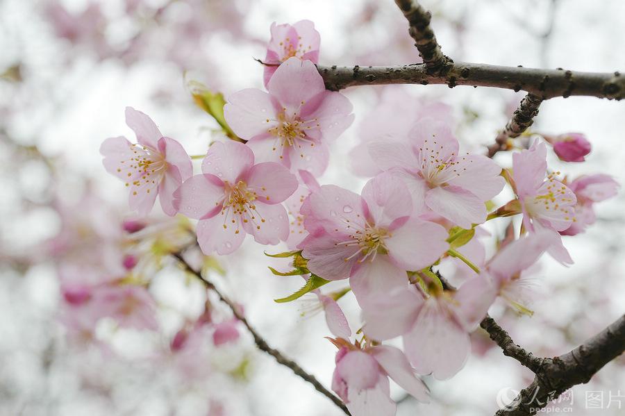 Cherry Blossoms   VISIT OKINAWA JAPAN