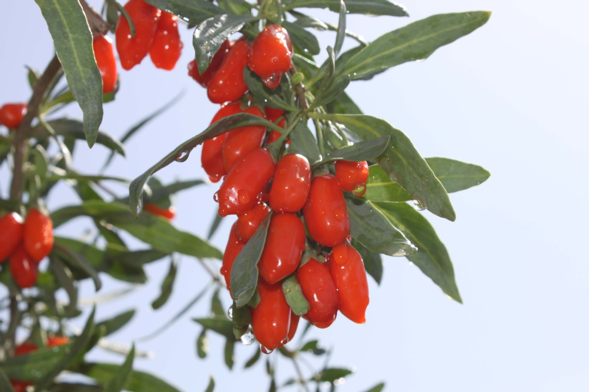 I M Going To Go On And On About Goji Berries World Chinadaily