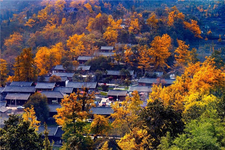 【中国日报网】Golden gingko leaves decorate Guizhou province