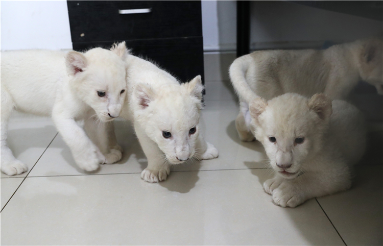 White lion cubs make public debut - Chinadaily.com.cn