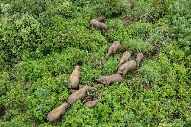Elephants return from epic journey