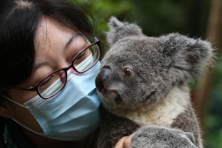 Baby koala comes out to meet the public